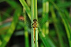 Free Ruddy Darter Dragonfly In Green Grass Royalty Free Stock Photo - 15082495