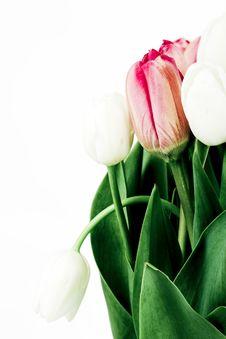 Free Tulips Royalty Free Stock Photos - 15082788