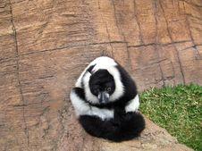 Free Lemur King Stock Photo - 15083000