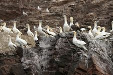Group Of Northern Gannet Birds On A Cliff Stock Photography