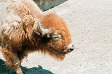 Free American Bison Stock Photography - 15084902