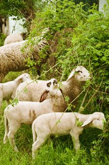 Free Sheep Grazing Stock Photo - 15085120