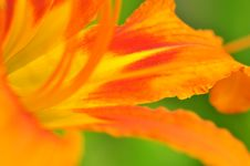 Free Daylily Close-up Royalty Free Stock Photos - 15085508