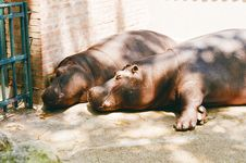 Free Two Hippos Royalty Free Stock Photography - 15085657