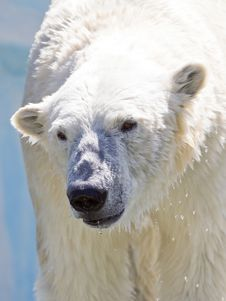 Free Polar Bear. Stock Photos - 15086573