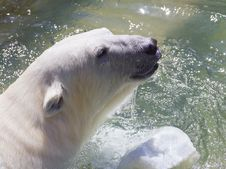 Free Polar Bear Royalty Free Stock Photo - 15086605