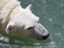Free Polar Bear. Royalty Free Stock Images - 15086699