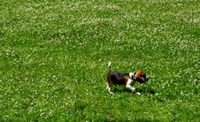 Free Funny Beagle Puppy In  Park Stock Image - 15087061