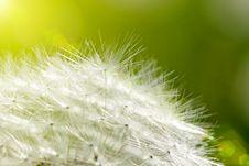 Free Dandelion Royalty Free Stock Photos - 15088248