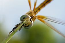 Free Close Up Of A Beautiful Golden Dragonfly Stock Images - 15088824