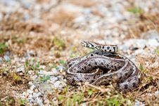 Free Leopard Snake Stock Image - 15089031