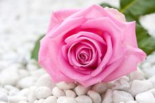Free Pink Rose Between Pebbles Stock Photography - 15089282