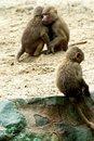 Free Monkeys Royalty Free Stock Images - 15094199