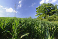 Free Corn Field Royalty Free Stock Photography - 15094737