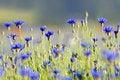Free Cornflower Stock Photo - 15095440
