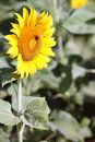 Free Sunflower Stock Photos - 15098323