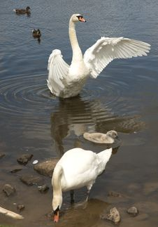 Free Swans And Signet. Royalty Free Stock Photo - 15090415
