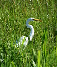 Free White Egret In Grass Royalty Free Stock Photo - 15090685