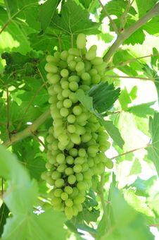 Free Green Grape On Vine Royalty Free Stock Photos - 15091158