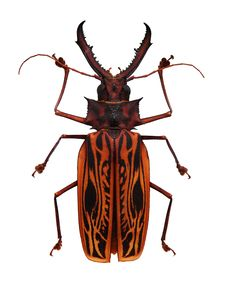 Free Big Orange And Black Horned Beetle Stock Photography - 15091762