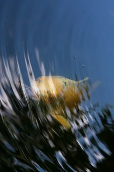 Free Fish Looking From Water Stock Images - 15091794
