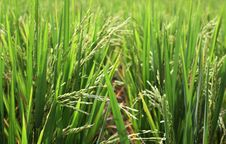 Free Paddy Field Royalty Free Stock Image - 15091796