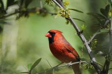 Free Northern Cardinal: Cardinalis Cardinalis Stock Photography - 15091852