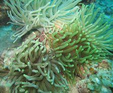 Free Giant Sea Anemone Colony Royalty Free Stock Photo - 15091895