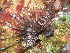Free Beautiful Invasive Lionfish 2 Royalty Free Stock Images - 15091919