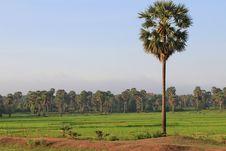 Free Cambodian Palm Tree Stock Image - 15092081