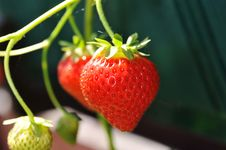 Free Red Strawberry Royalty Free Stock Images - 15092219