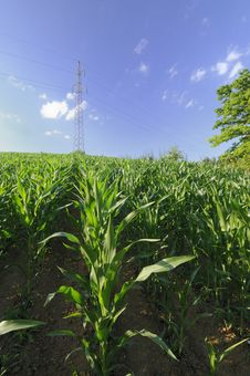 Free Corn Field Royalty Free Stock Photos - 15094698