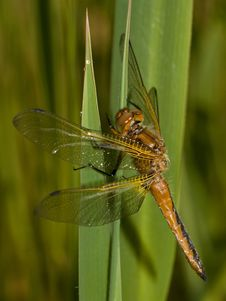 The Scarce Chaser Stock Photo