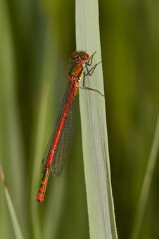 Free Red Damselfly Royalty Free Stock Photos - 15095598