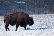 European Bison (Bison Bonasus) Royalty Free Stock Image