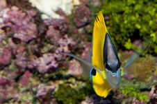Free Longnose Butterflyfish Front View Royalty Free Stock Photography - 15096527