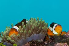 Free Clownfish Pair Stock Image - 15096581