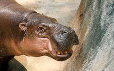 Free Hippo Stock Photo - 15097170