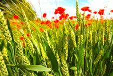 Free Young Wheat Growing In The Fields Royalty Free Stock Photos - 15097408