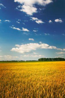 Free Amazing Yellow Field. Stock Photography - 15097492