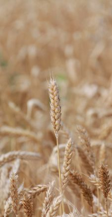 Free Grain Field Royalty Free Stock Image - 15097876