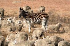 Free Zebra Shepherd Stock Photos - 15097893