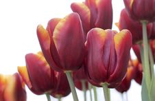 Free Tulips Royalty Free Stock Photography - 15098067