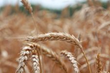 Free Grain Field Stock Image - 15098371