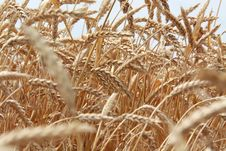 Free Grain Field Stock Photos - 15098453