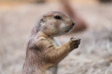 Free Groundhog Profile Royalty Free Stock Photo - 15098815
