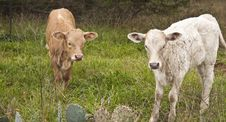Calves Grazing Royalty Free Stock Photos