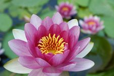 Free Water Lily Stock Photo - 15099270