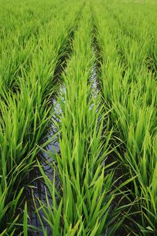 Free Rice Paddy Stock Images - 15099324