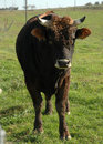 Free Upset Curly Ox Royalty Free Stock Photography - 1515597